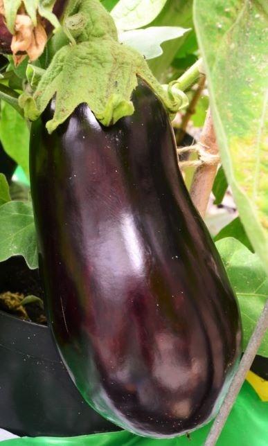Aubergine-Black-Pearl-F1.jpg